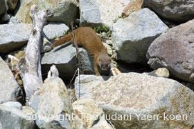Japanese weasel | Mustela itatsi