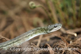 Japanese Rat Snakel | Japanese Rat Snake