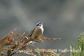 Meadow Bunting | Emberiza cioides