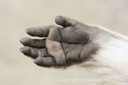 The hands of the monkey