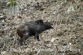 Wild boar | Sus scrofa