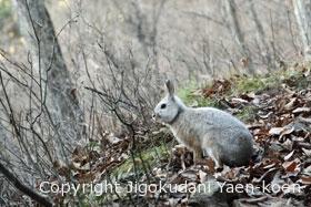 Japanese hare | Lepus brachyurus