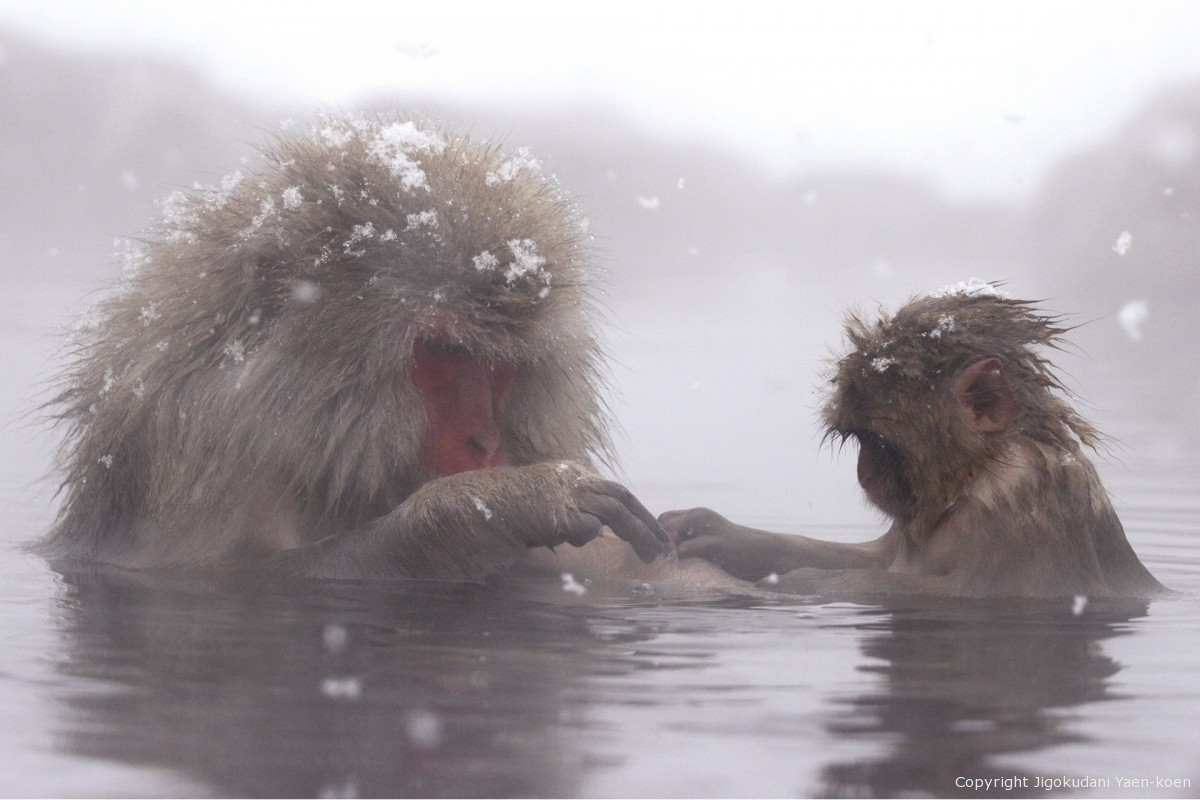 The bathing monkey