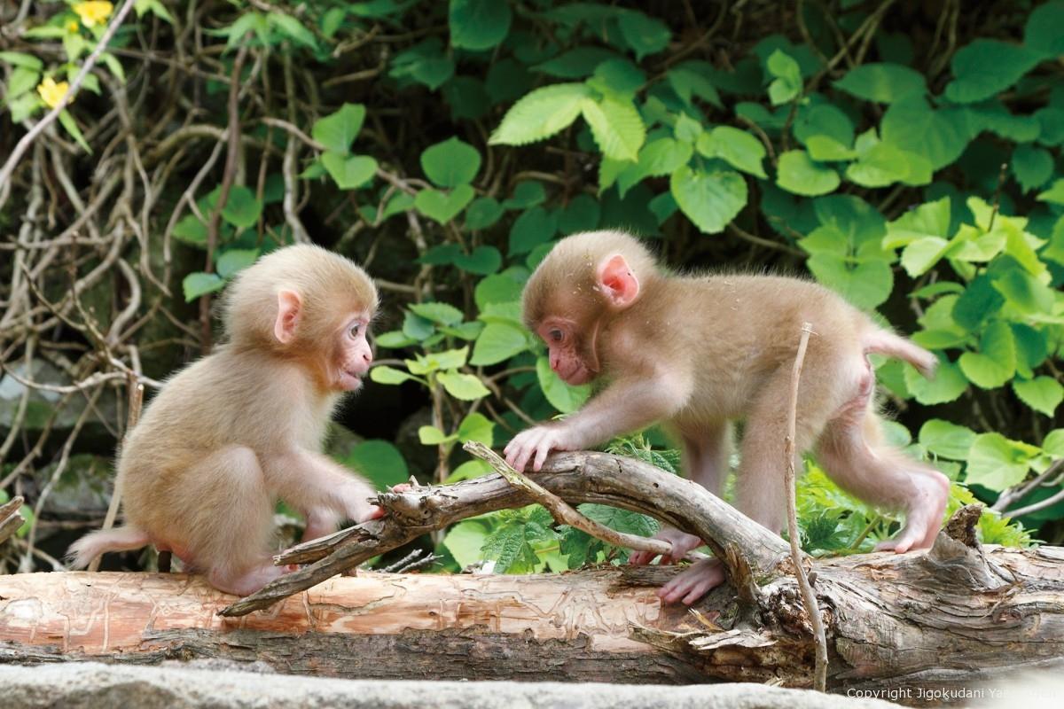 (Notice) [Jigokudani Monkey Park] entrance fee revision
