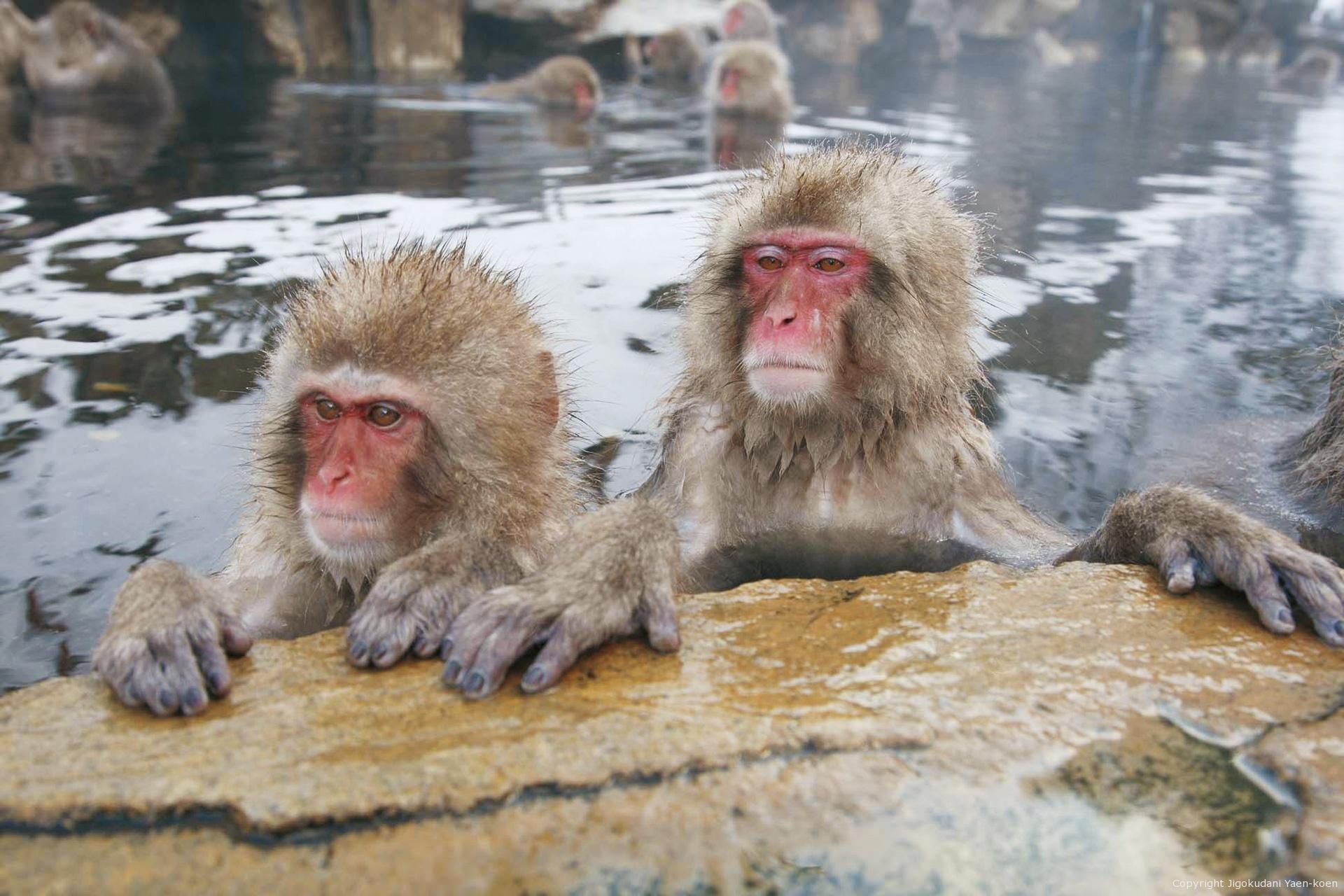 JIGOKUDANI YAEN-KOEN Welcome , Japanese Monkey to the world