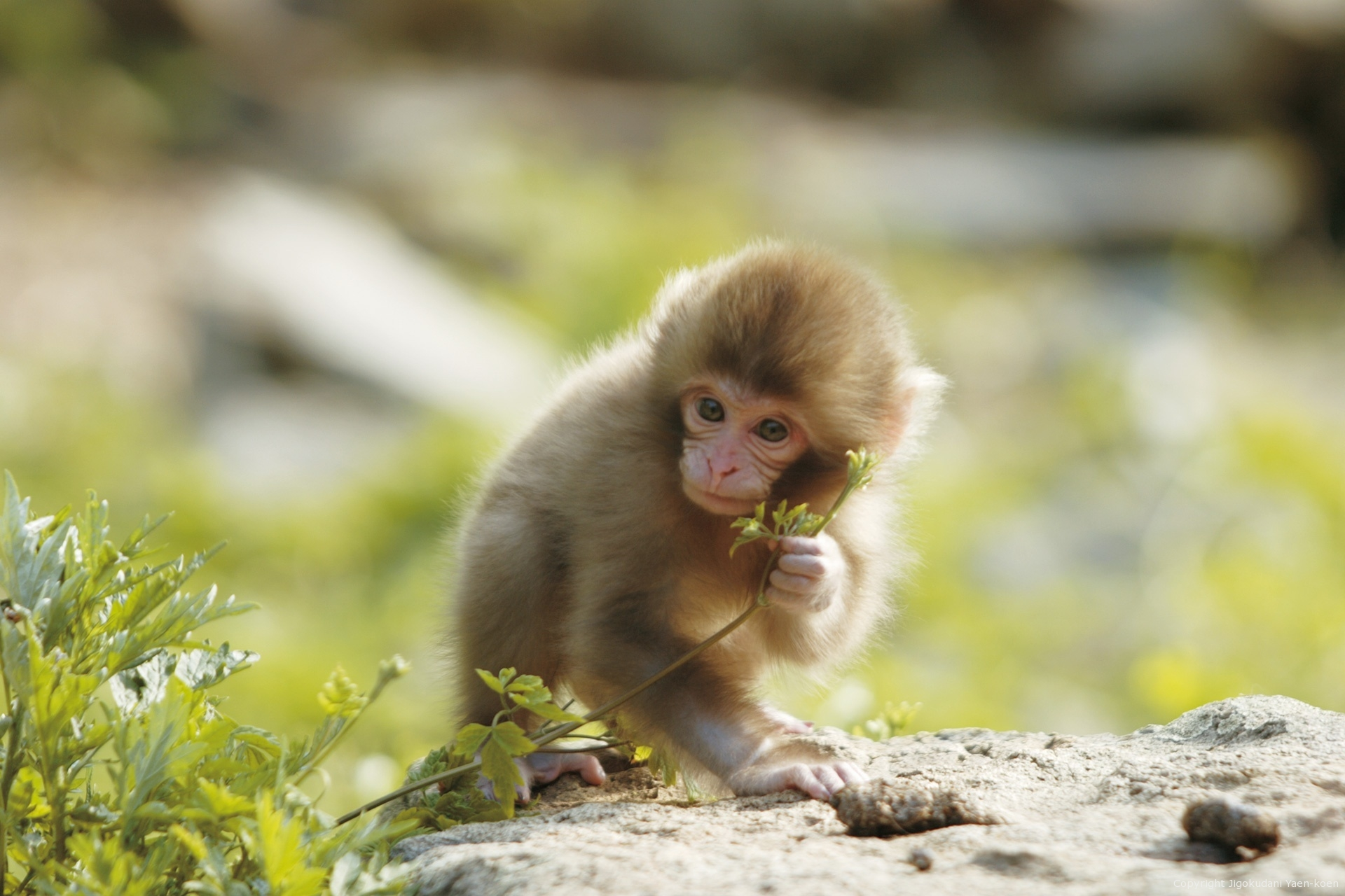 JIGOKUDANI YAEN-KOEN|Welcome , Japanese Monkey to the world