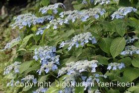 ヤマアジサイ|Hydrangea