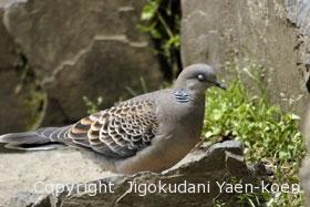 キジバト|Oriental Turtle-Dove|Streptopelia orientalis