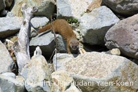 ニホンイタチ|Japanese weasel|Mustela itatsi