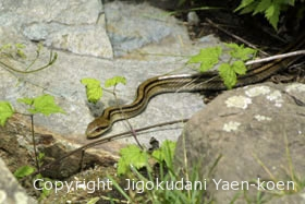 シマヘビ|Japanese striped snakel|Elaphe quadrivirgata