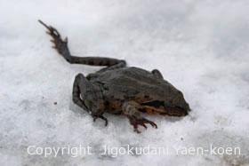ヤマアカガエル Montane Brown frog Rana ornativentris