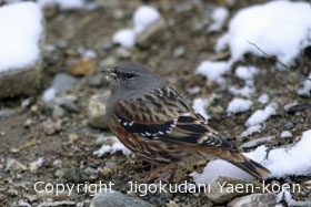 イワヒバリ|Alpine accentor|Prunella collaris