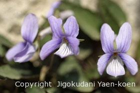 タチツボスミレ|Viola grypoceras