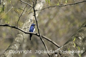 オオルリ|Blue-and-white Flycatcher |Cyanoptila cyanomelana