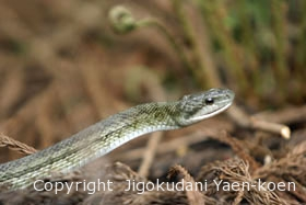 アオダイショウ|Japanese Rat Snakel|Japanese Rat Snake