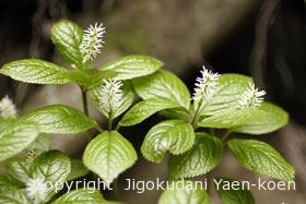 ヒトリシズカ|Chloranthus japonicus