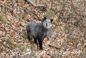 ニホンカモシカ<br />Japanese serow<br />Capricornis crispus
