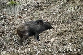 イノシシ|Wild boar|Sus scrofa
