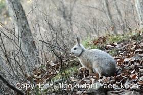ニホンノウサギ|Japanese hare|Lepus brachyurus