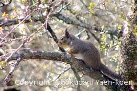 ニホンリス(ホンドリス)|Japanese Squirrel|Sciurus lis